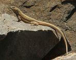 una lagartija