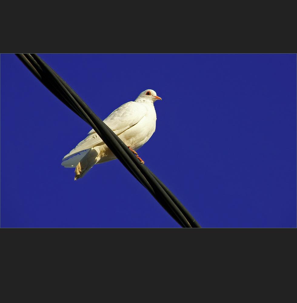 una paloma blanca..