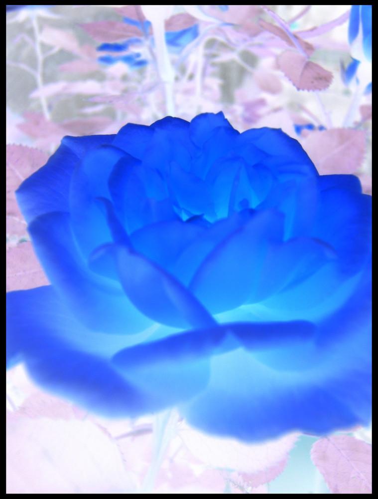 Una Rosa...
