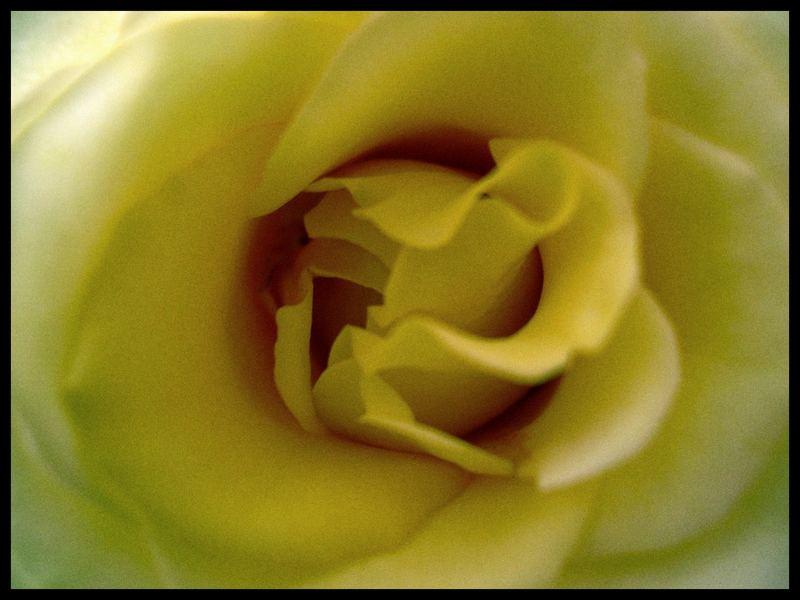 Una Rosa Amarilla