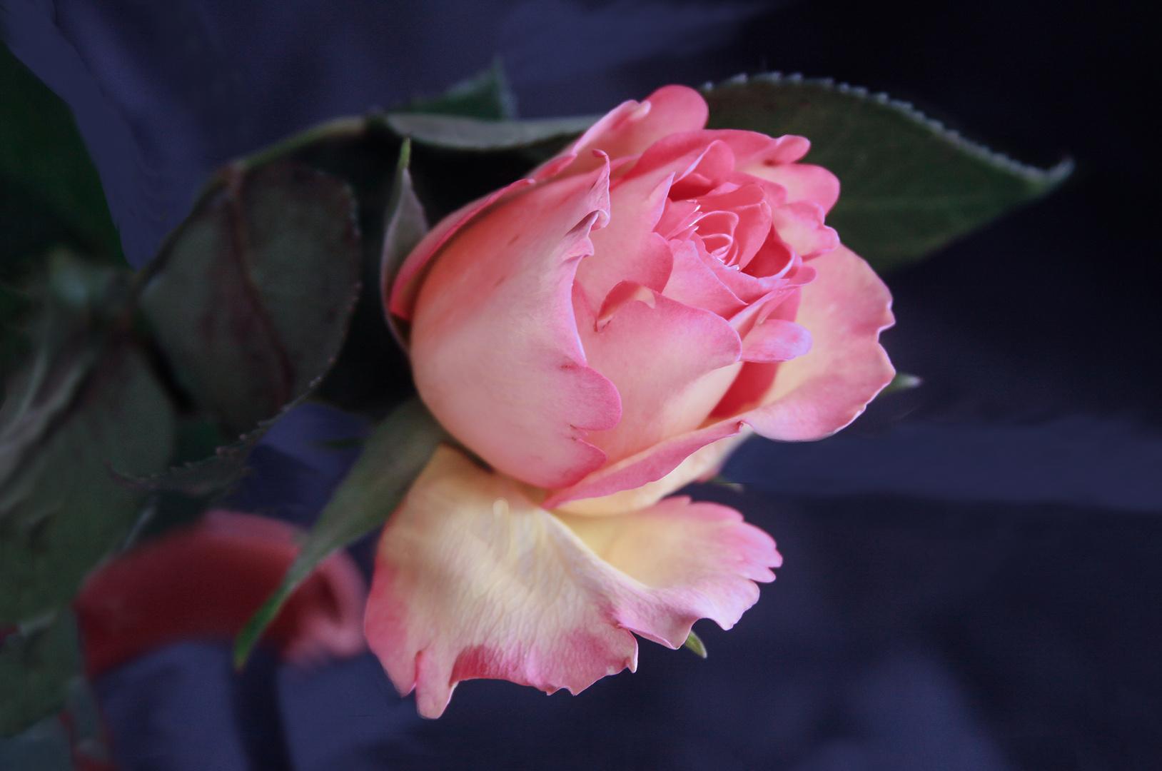 Una rosa apaisada
