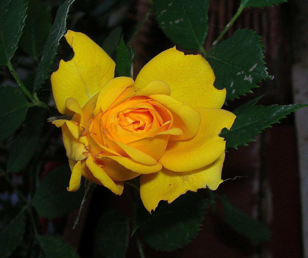 Una rosa color zafferano