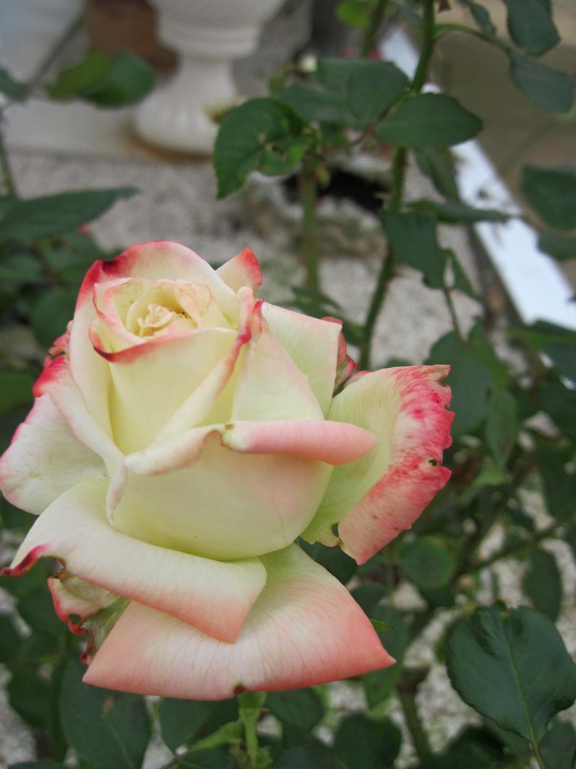 Una rosa delicata