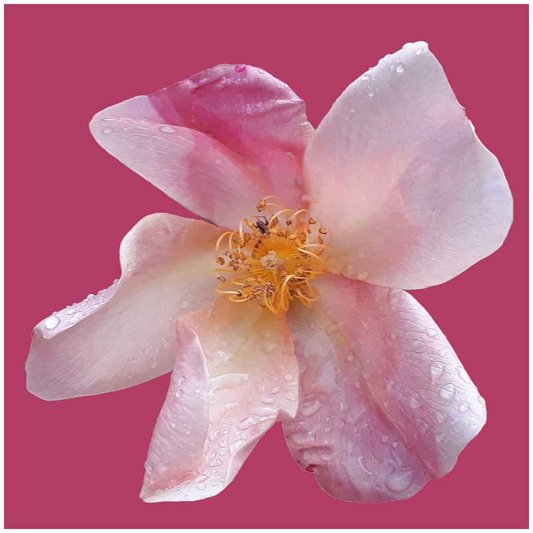 Una Rosa Di Colore Rosa Su Sfondo Rosa Foto Immagini Macro E
