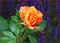 Una rosa para el domingo # Eine Rose für den Sonntag