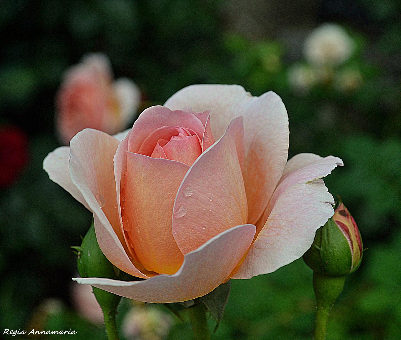 una rosa per voi