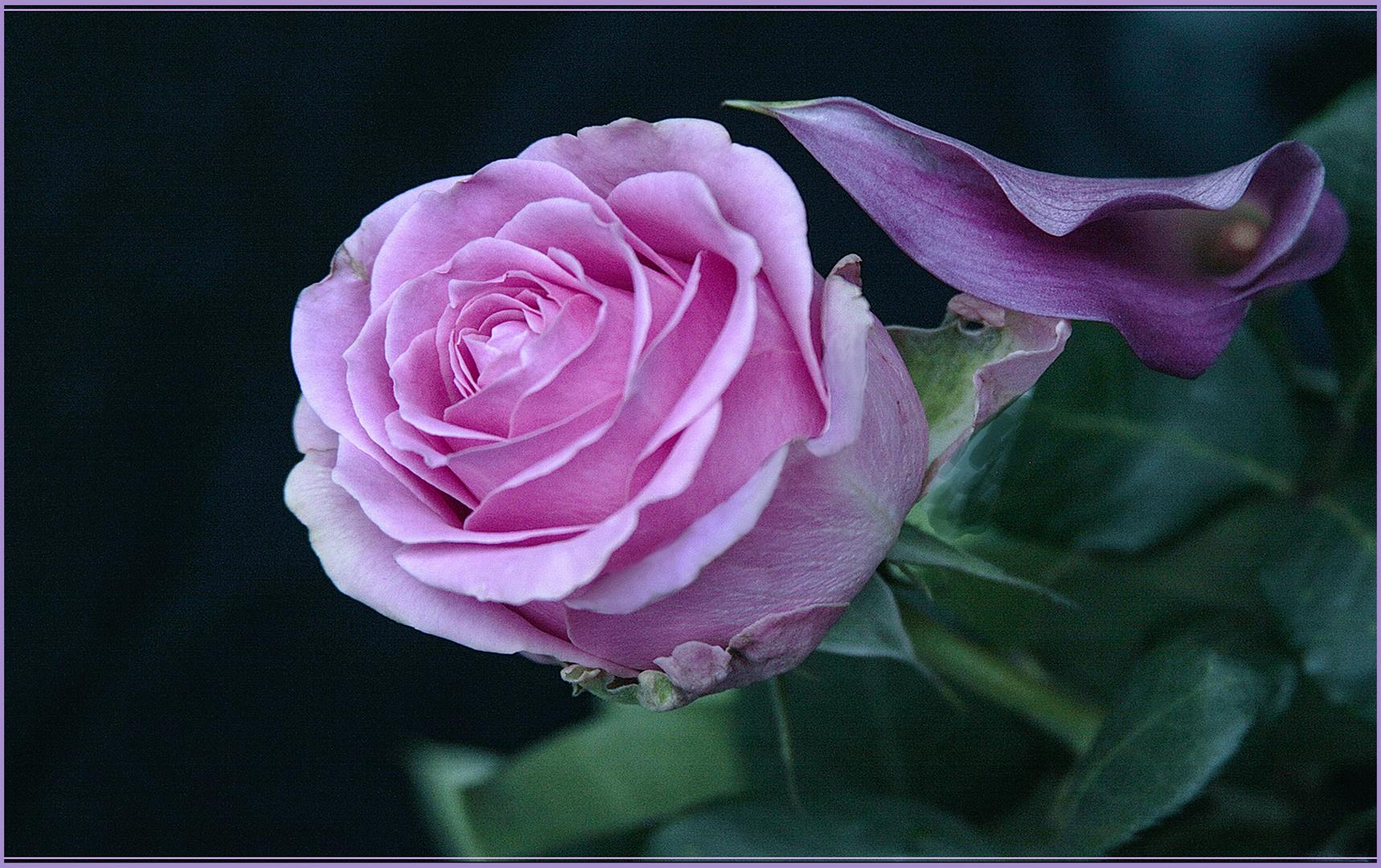 Una rosa rosada