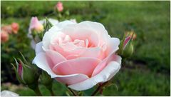 Una rosa un racconto ..