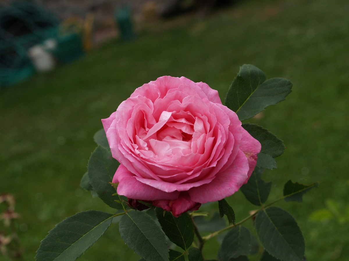 una rosal