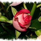 ...una semplice rosa...