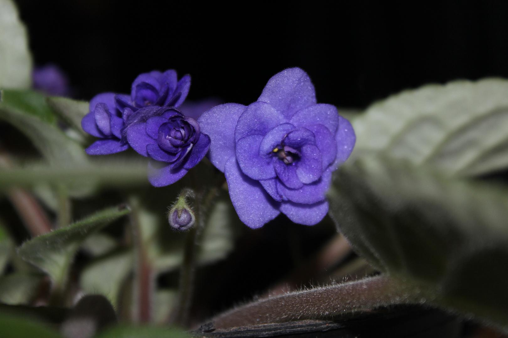 Una Violeta