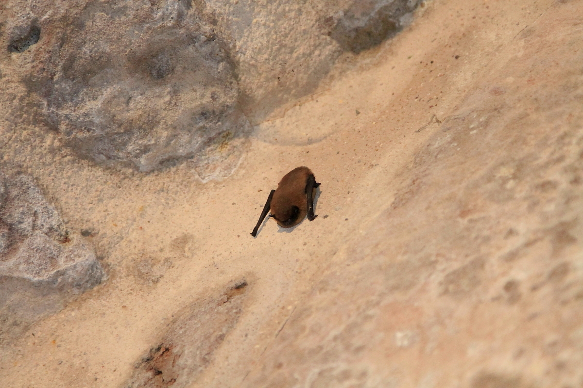 Unbekannte Fledermaus