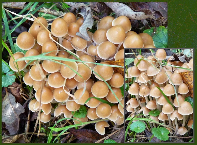 Unbekannte Pilze unter Strauchwerk