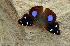 unbekannte Schönheit (no more) Salvins empress (Cybdelis boliviana)