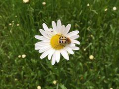 unbekannte Wildbiene