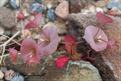 Unbekannte Wüstenblume
