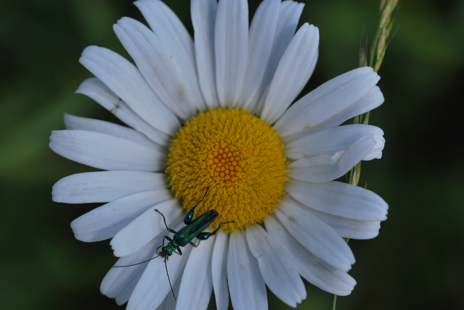 Unbekannter Käfer auf der Wiesen - Margerite !
