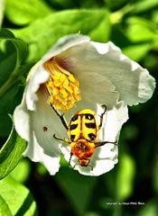 Unbekannter Käfer
