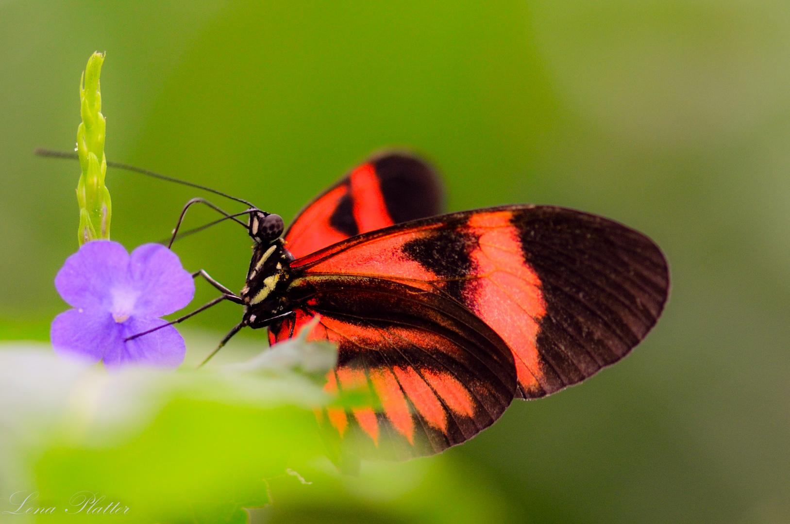 Unbekannter Schmetterling 2