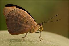 unbekannter Schmetterlinge