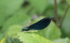 und auch das Blauflügel-Prachtlibellen-Männchen gab sich die Ehre