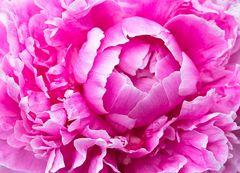 ...und darum ist die Pfingstrose eine Rose