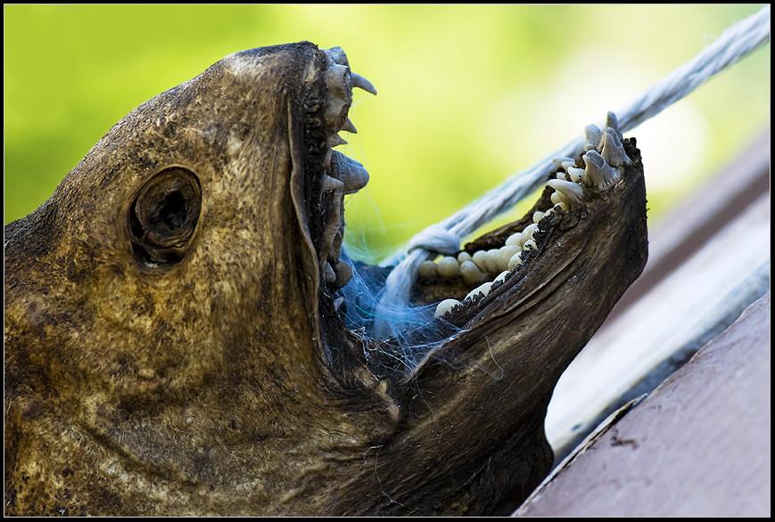 und der haifisch, der hat zähne . . .