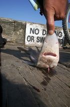 Und der Haifisch, der hat Zähne....