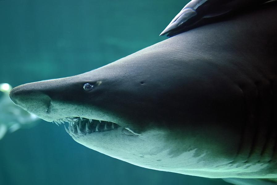 Und der Haifisch, der hat Zähne Und die trägt er im Gesicht
