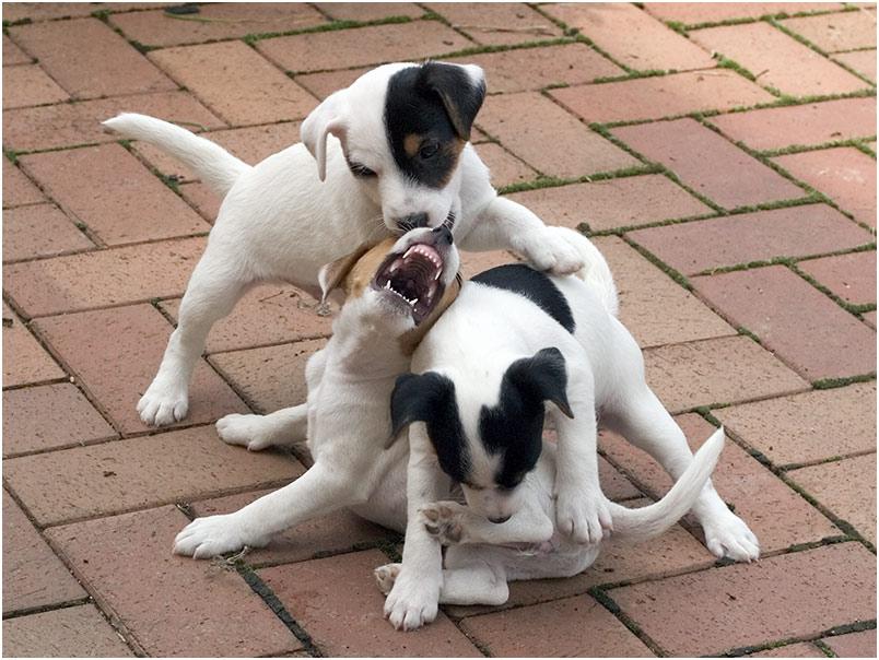 Und der Terrier, der hat Zähne ...