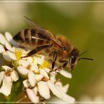 und diese Biene die........