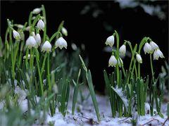 Und dräut der Winter noch so sehr... II