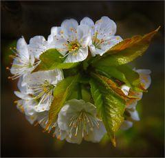Und heute gibt´s ein Kirschblütensträußchen ...