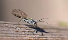Und hier noch ein hübsches Blattlaus-Männchen! - Un beau mâle de puceron!