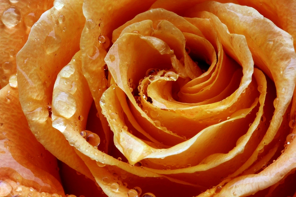 ....und immer mal wieder eine Rose (4)