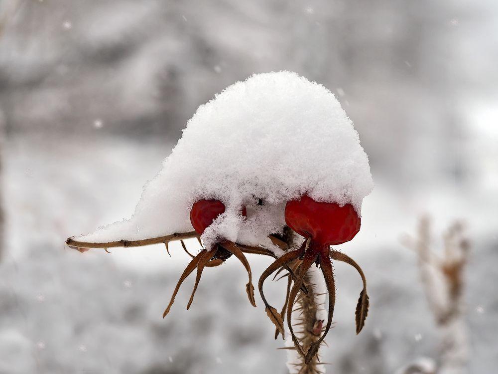Und jetzt begrüsse ich den Winter... - L'hiver décore les cynorhodons.