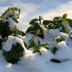 Und Leben drängt sich durch den Schnee