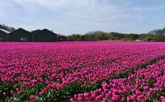 ... und natürlich Tulpen