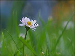 ... und noch ein Daisy