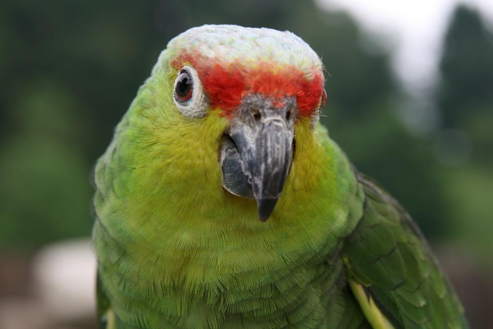 ... und noch ein Papagei