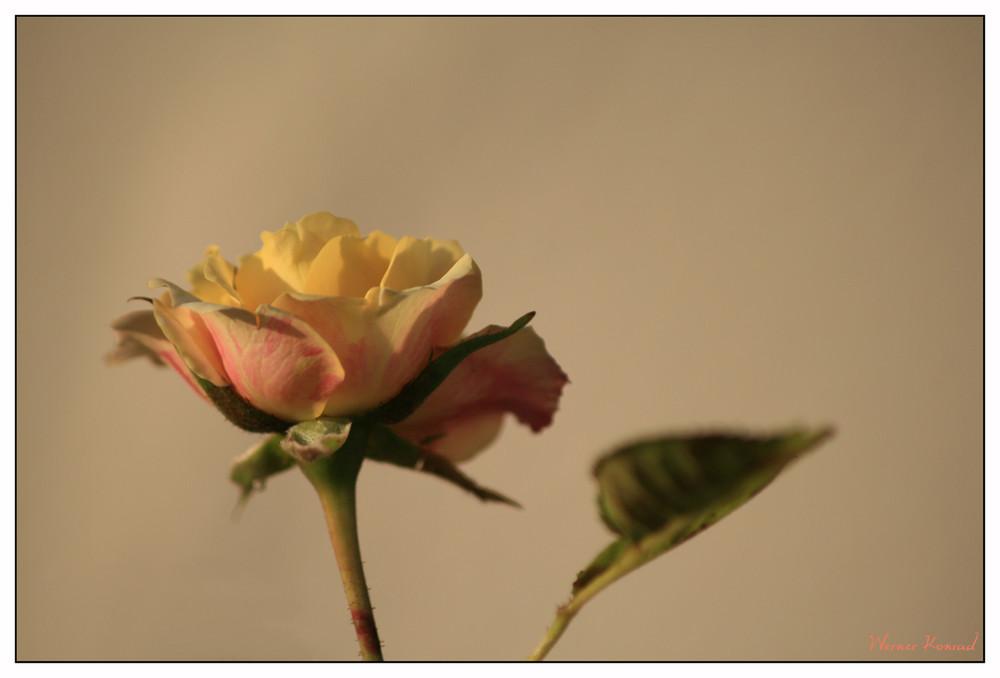 Und noch eine Rose
