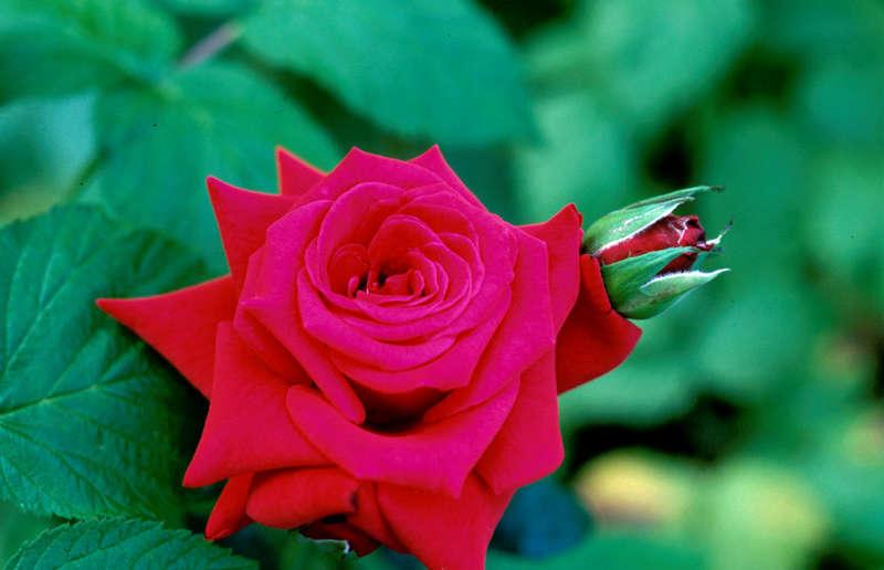 ...und noch eine Rose