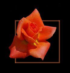 ... und noch eine Rose # ... y una rosa más