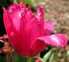Und noch eine Tulpe