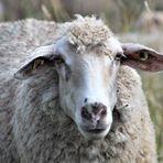 und noch einmal zurück  zu den Schafen,