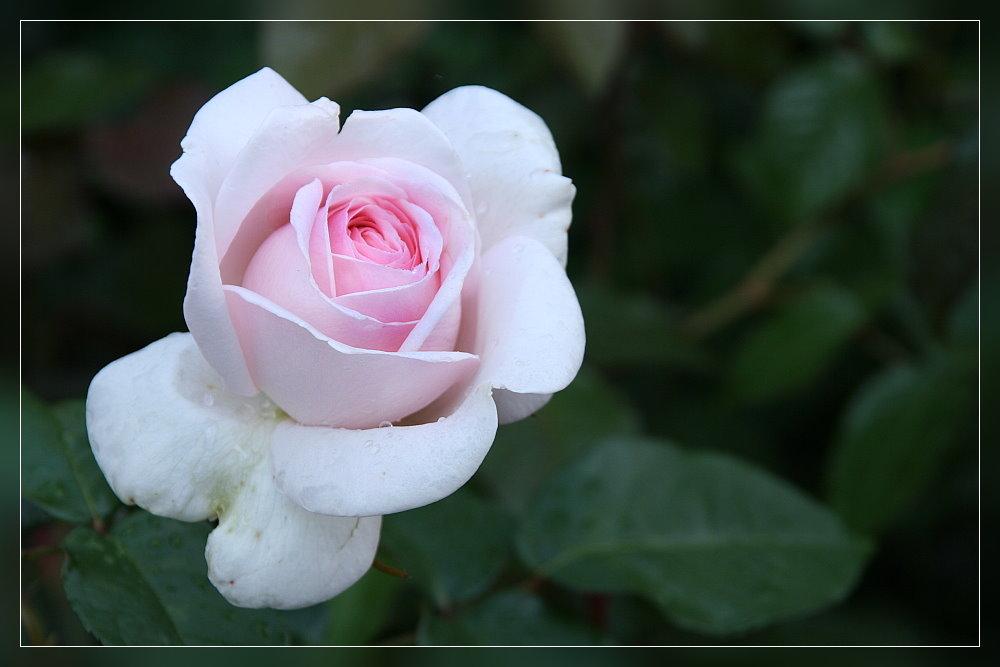 Und noch ne Rose .....