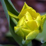 ....und noch ne Tulpe