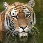 Und noch´n Tigerbild
