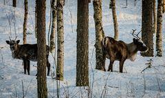 Und Rentiere gibt es auch in Lappland