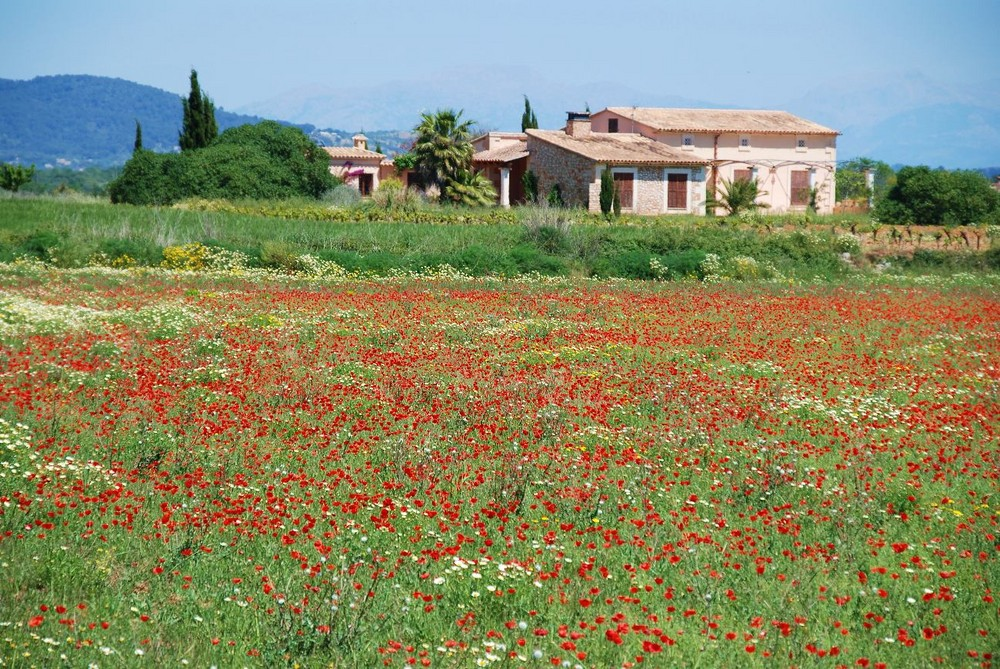 und so blüht es jetzt aus Mallorca